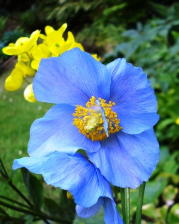 ... but in the pure biue of the meconopsis....