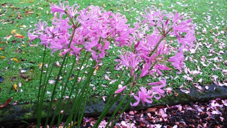 Nerine bowdenii - the last of the season to bloom