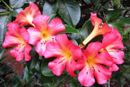 "Satan. I'm afraid it is vireya rhododendron ""Satan's Gift"", not Santa's Gift"