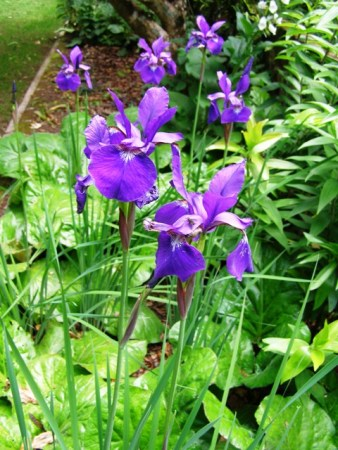 The combination of Siberian iris and Bergenia ciliata works very well
