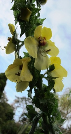 Take one good, large flowered verbascum (this one is V. creticum though Blue Lagoon is a different species))...