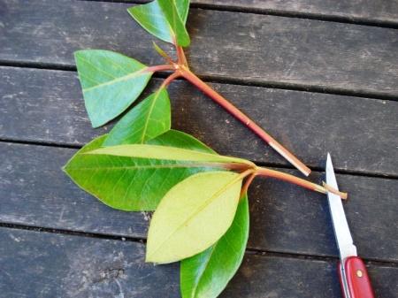 Preparing vireya cuttings - wound both sides