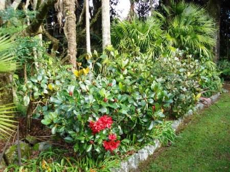 Vireyas used in a garden border