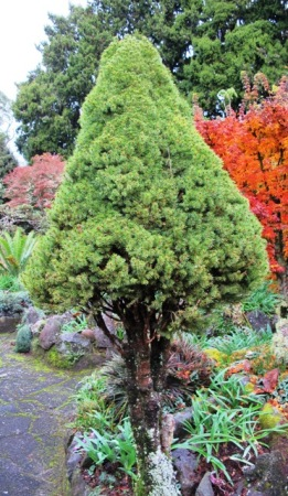 Picea albertiana 'Conica' after a mere 20 years