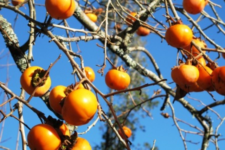 And the winner for colour this week - the persimmons