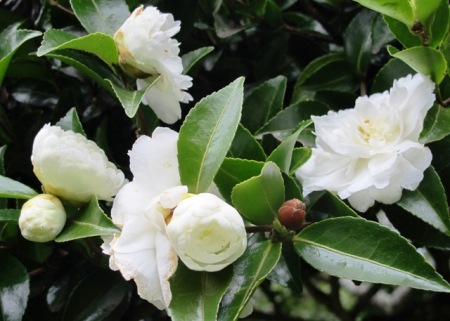 There is a range of sasanqua camellias in white. 'Silver Dollar' has a long flowering season and is an excellent option for a more compact hedge.
