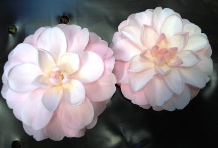 Camellia Fairy Blush Tikorangi The Jury Garden