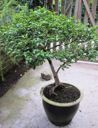 Camellia 'Itty Bit' is a dwarf variety that has been kept in a pot here for 20 years