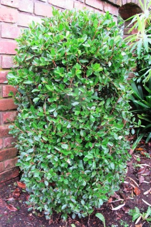 Camellia species brevistyla and microphylla offer an option as buxus hedging replacement and can be grown from seed. This plant is C. brevistyla.