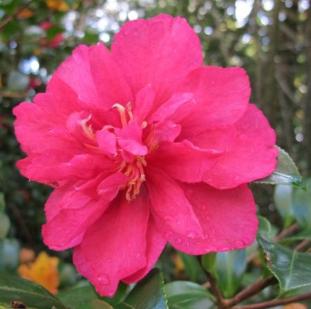 Camellia sasanqua 'Bonanza' is a bright spot of colour on a grey day