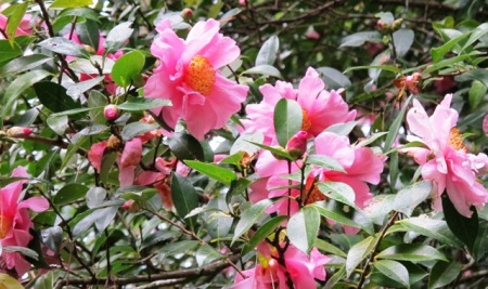 There is nothing special about the individual blooms on Camellia sasanqua 'Showgirl', but at the time when it flowers, there is nothing to rival its showiness.