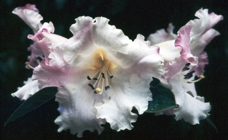 Floral Dance gets its scent from R. sino nuttallii but is a very different flower and plant.