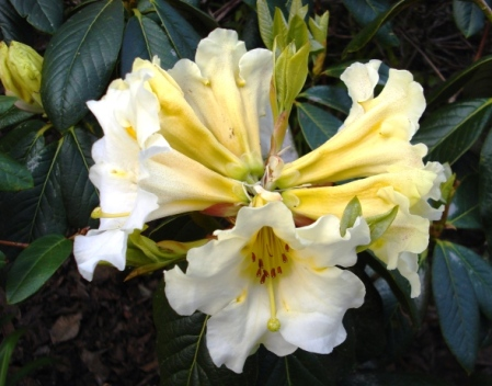 Floral Sun is the soft yellow half sister of Floral Dance and becomes a very tidy, compact garden plant with masses of blooms.