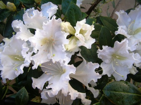 For frost-free areas, R. veitchianum is a gem with its pure white, frilly, scented flowers.