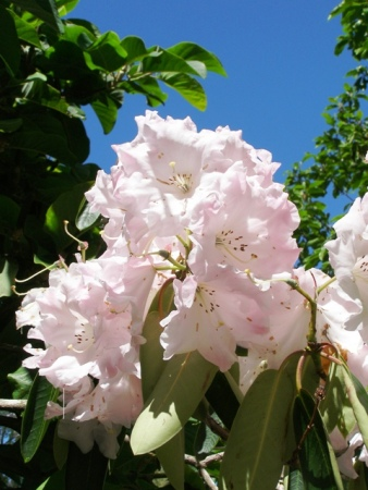 Loderi Venus is one of the fragrant Loderi series but hard to find for sale and more of a small tree.