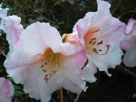 In the smaller growing, very fragrant white flushed pink class, Floral Gift is our preference