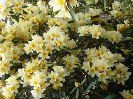 Felix Jury's series of R. polyandrum hybrids brought a greater colour range to scented rhododendrons in New Zealand - Barbara Jury