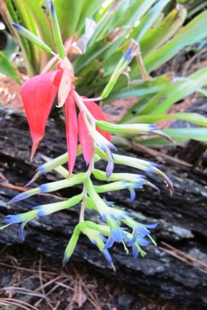 Bilbergia flowering in the winter woodland