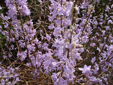 Deciduous, lacking scent and blue lilac but it is probably the most spectacular - Daphne genkwa