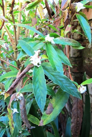 The good and the bad of the Himalayan Daphne bholua