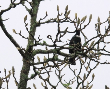 The tui are back