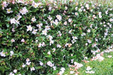 Our hedge of Camellia Fairy Blush