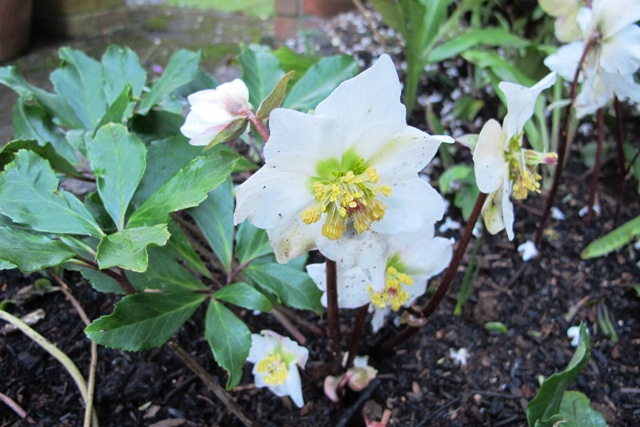 A simple but very pleasing combination of Helleborus niger for winter flowers, Calanthe arisarnensis for  spring, some random dwarf narcissi - and interesting foliage all summer
