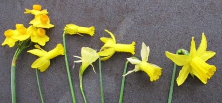A selection of early flowering narcissi from the garden this week