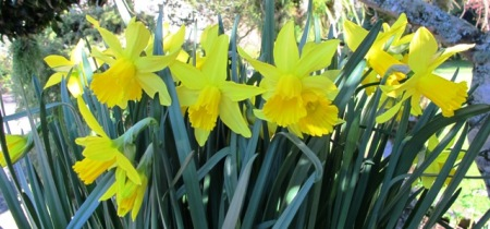 Narcissus Peeping Tom is a wonderful early season performer