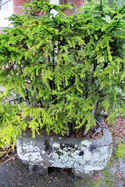 Mark calls it his Forest of Tane though these are Picea orientalis bonsai style in a small stone trough
