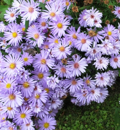 A carpet of blue asters in late summer and autumn