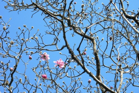 The very first flowers of the season on Magnolia campbellii