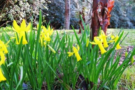 Narcissus cyclamineus at the base of Acer griseum