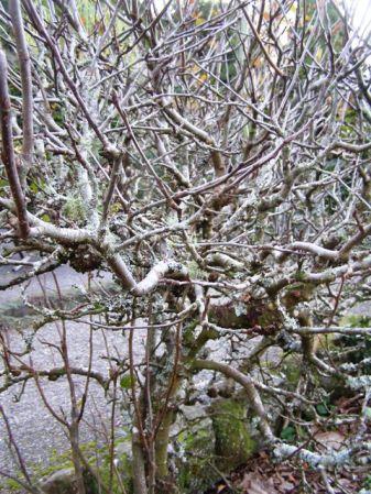 dwarf apple tree pruning guide