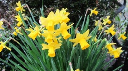 There is nothing subtle about the bright yellow of early narcissus