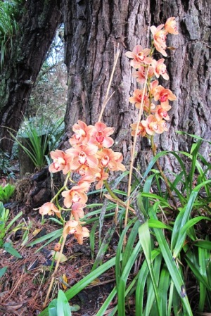 Cymbidium orchids in the woodland