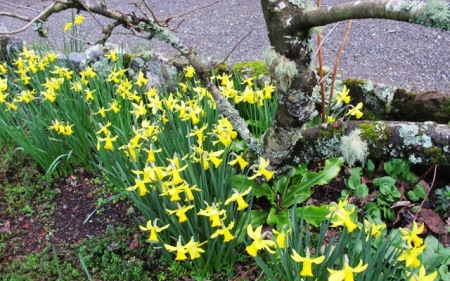 All the early narcissi are in flower