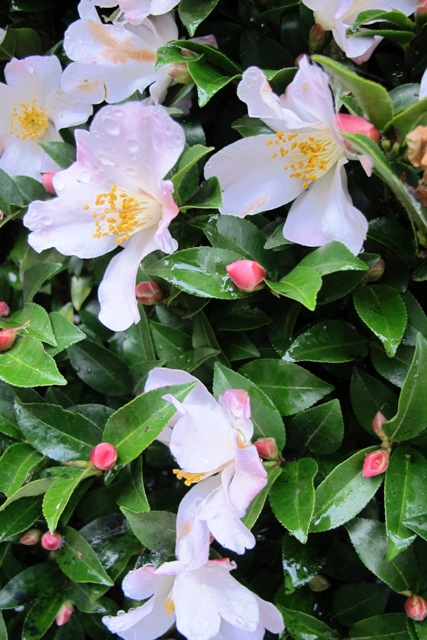 Camellia Fairy Blush - not immune but the display is unaffected