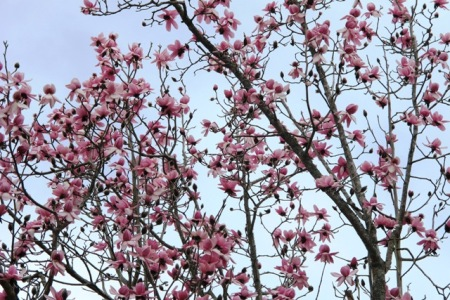 Magnolia campbellii in full flight this week