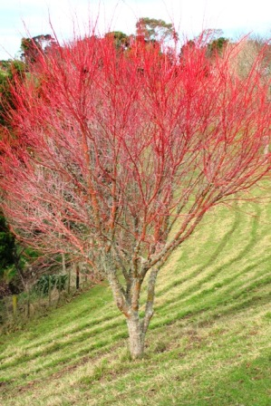 Acer Senkaki, as it is commonly referred to in NZ