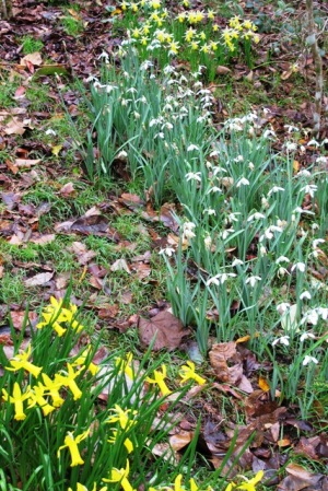 Mark's bulb hillside - Narcissus cyclamineus at the front, galanthus in the centre and Narcissus Twilight to the rear