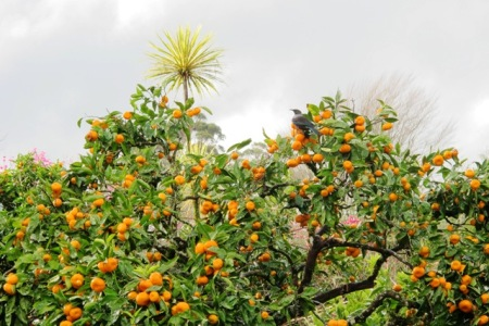 Winter colour on the mandarin tree - and food for tui