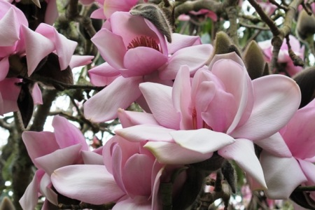 Magnolia Mark Jury - what else could it be?
