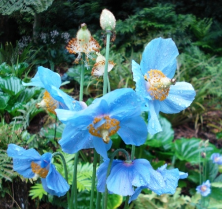 You can never have too much blue in the garden - especially if it is meconopsis