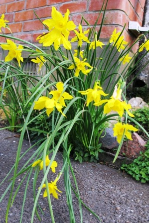 The heady fragrance of Narcissus x odorus