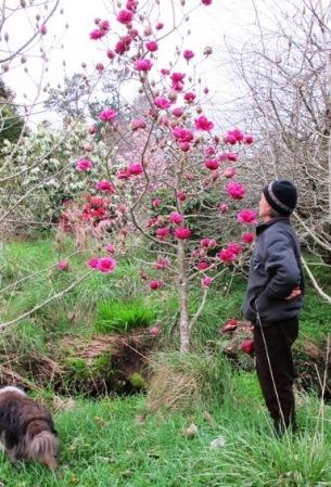 Magnolia Black Tulip Tikorangi The Jury Garden