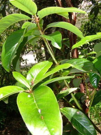 brown marks on rhododendron leaves   Tikorangi The Jury Garden