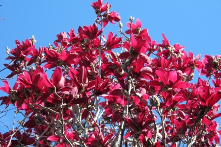 Magnolia Burgundy Star in full glory