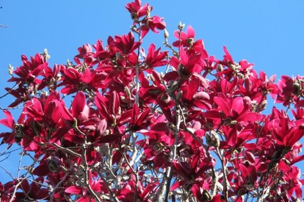 Magnolia Burgundy Star in full glory