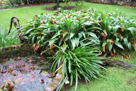 A surfeit of renga renga lilies repeated throughout your garden is highly unlikely to unify it